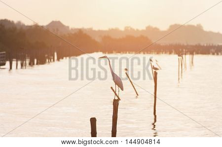 Close focus on egret standing on wood stick of water surface during sunrise as orange tone color. Surrounding by birds and mangrove tree.