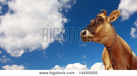 Cow on blue sky with clouds