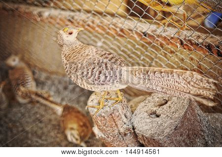 Pheasant At The Cage