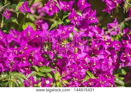 Close Up of magenta color bougainvillaea in blossom