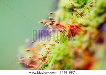 Colorful macro moss spores on blurred background. Shallow focus