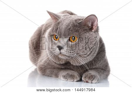 cute gray British Shorthair with brown eyes cat lying and look front isolated on white background