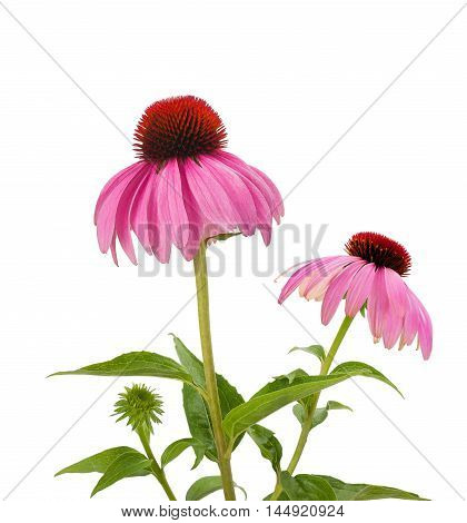 Purple Coneflowers isolated on a white background