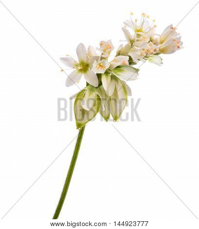Buckwheat flowers isolated on a white background