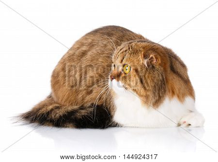 Adorable redhair Scottish Fold cat lying isolated on white background and look aside