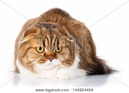 serious redhair Scottish Fold cat lying isolated on white background and look in camera