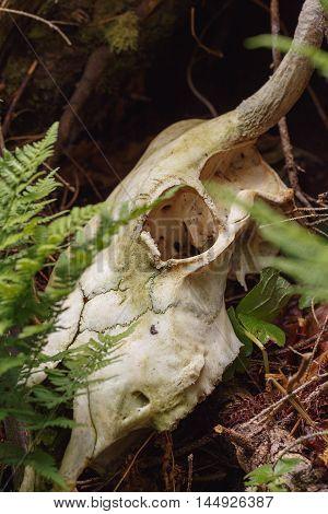 Bull Skull In Forest