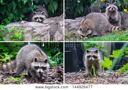 Raccoons Looking for Food in a Backyard During the Day