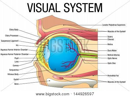 Chart of VISUAL SYSTEM - Vector image