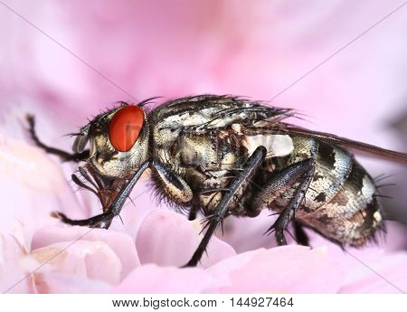 Common housefly eating in pink flower close-up macro