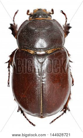 European rhinoceros beetle on white Background - Oryctes nasicornis  (Linnaeus, 1758)