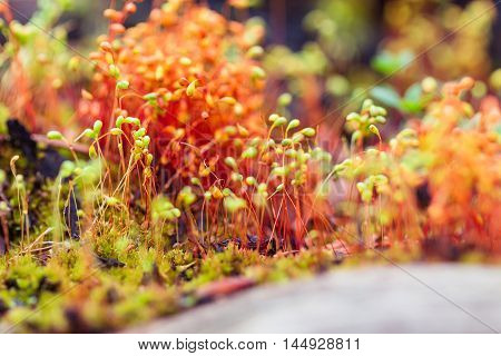 Closeup red moss spores on blurred background. Shallow focus