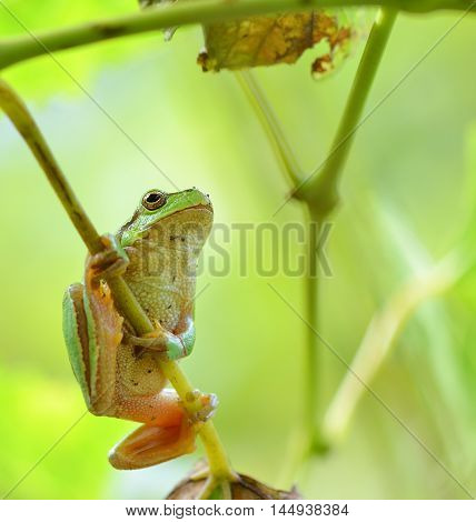 Australian Green Tree Frog sitting on a vine with green leaf background