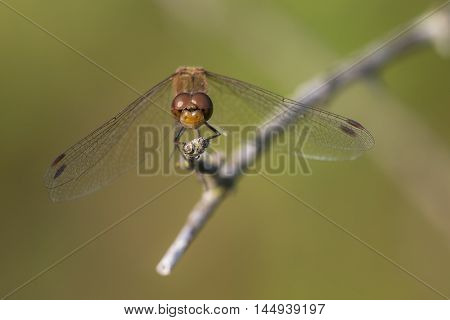 Common Darter (Sympetrum striolatum) male resting on a shrub