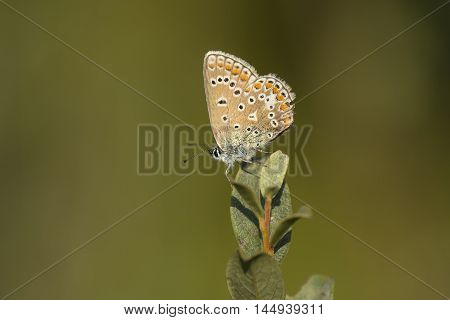 Common Blue (Polyommatus icarus) butterfly male resting on top of a Shrub with closed Wings