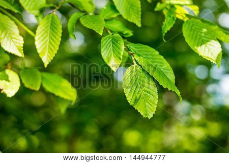 Green fresh leaves on tree with shallow depth of field.