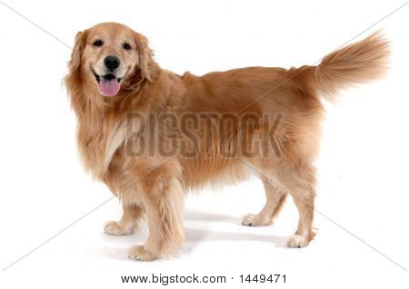 Golden Retriever stehend