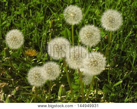 Dandelions in the park in the very beginning of spring