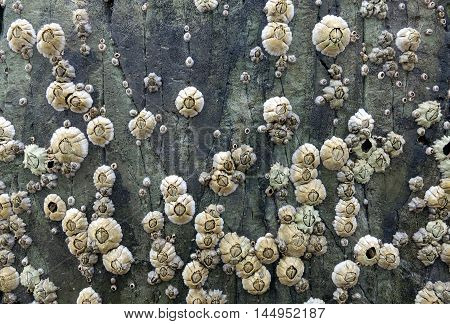 Acorn barnacles clustered on a natural rock wall along Llanddwyn Island, Anglesey, Wales.