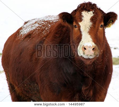 snow covered cow in field of snow breathes steam