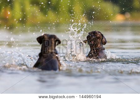 Two Standard Schnauzer Dogs In A Lake