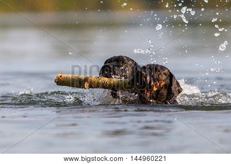 Two Dogs Swimming With A Wooden Stick