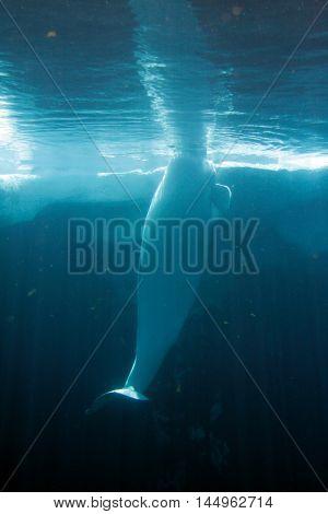 White Beluga Whale ..