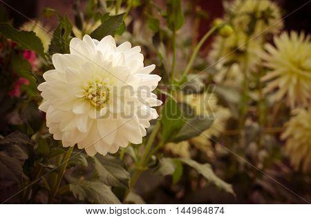 Colorful dahlia flower white in autumn garden, toned