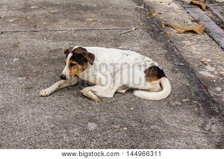 Thai stray dog on floor , pet