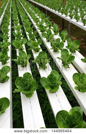 Hydrophonic Plantation At Cameron Highlands, Malaysia..