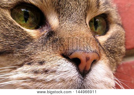 Close up of a tabby cat's orange nose and green eyes