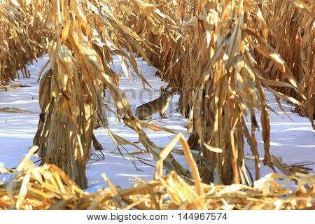 Rabbit between unharvested cornfield on snow covered ground