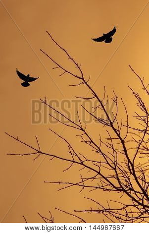 Black dry tree silhouette and crows over orange sky