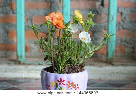 Portulaca Flowers