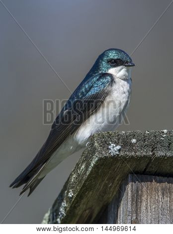 A beautiful and vibrant Tree Swallow perches on its nest box in a Wisconsin meadow.