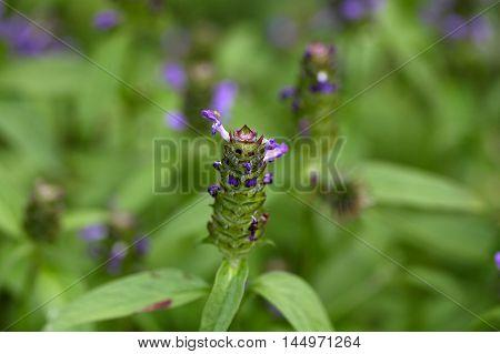 Flowers of a common self heal (Prunella vulgaris)