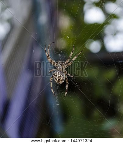 Big spider on web, a blurred background, the spider in focus, arachnid sits in its lair