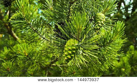 pine branch, pine cones, green needles, forest, macro shot