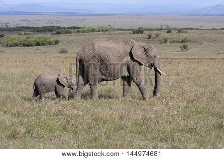 Elephant with baby elephant walking on the African savannah in Amboseli Kenya