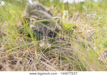 Puppy raccoon dogs in their natural habitat Ural