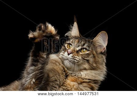 Closeup Maine Coon Cat Head, Looks in Paw Isolated on Black Background