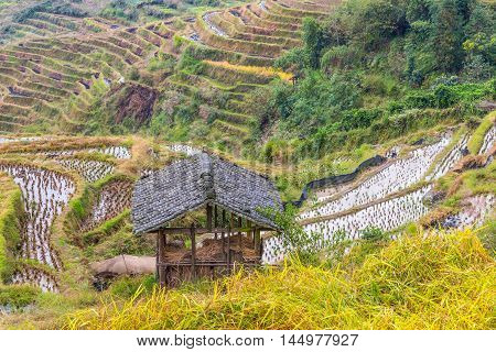 Chinese rice fields in cloudy weather. Hut in the foreground.