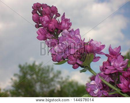 flowers, lilac. sky, blue, lilac. bush. nature, spring, bloom