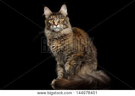 Tabby Maine Coon Cat Sitting with Furry Tail and Yellow eyes Isolated on Black Background, Front view