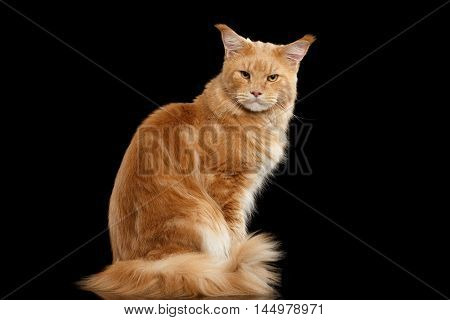 Angry Ginger Maine Coon Cat Sitting with Furry Tail and Gaze Looking in Camera Isolated on Black Background