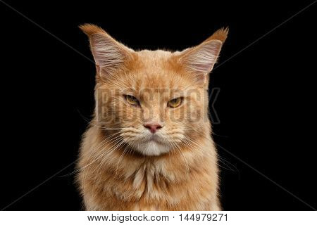 Closeup portrait of Ginger Maine Coon Angry Cat Head Gaze Looks Isolated on Black Background