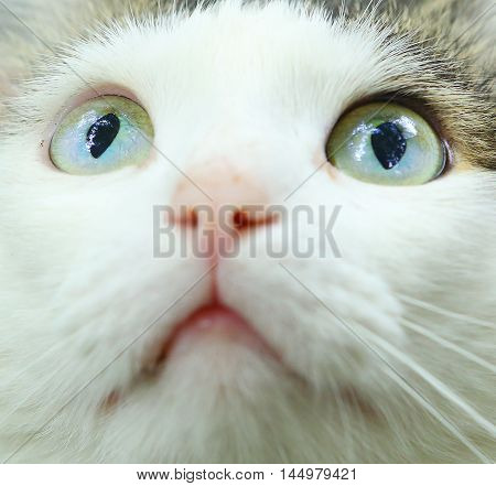 blue eyed hunting tom cat close up muzzle photo