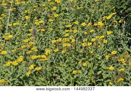 Common or Meadow False Fleabane - Pulicaria dysenterica Bank of flowers