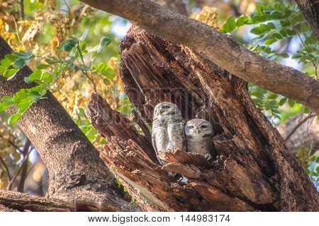 Two Little Owls in a hollow tree