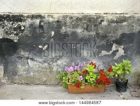 Pots with pelargonium and red geranium flowers on a grunge concrete wall background